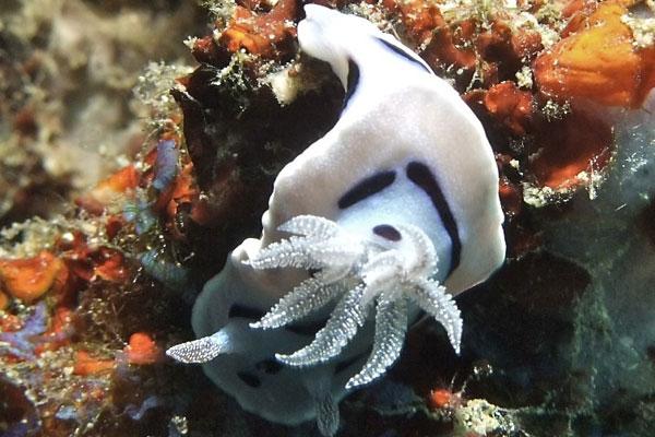 Chromodoris-willani-Coral-Cove
