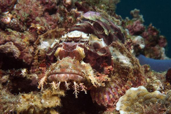 Devil-Scorpionfish-Sabang-Wrecks