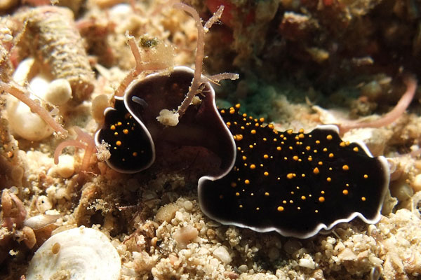 Flatworm-Giant-Clams