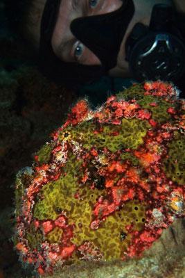 Giant-Frogfish-Sabang-Wrecks