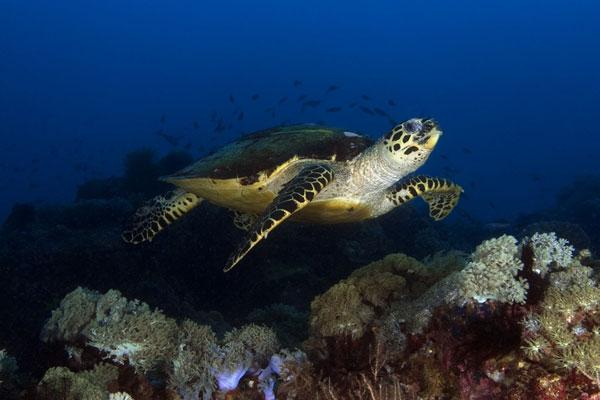 Hawkbill-Turtle-West-Escarceo