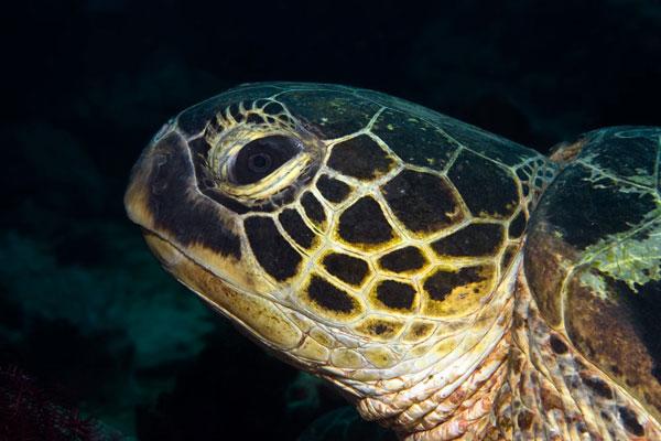 Hawkbill-Turtle2-Monkey-Beach