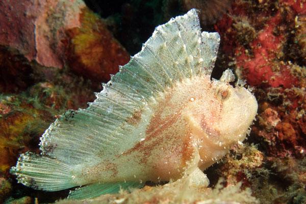 Leaf-Scorpion-Fish-Dry-Dock