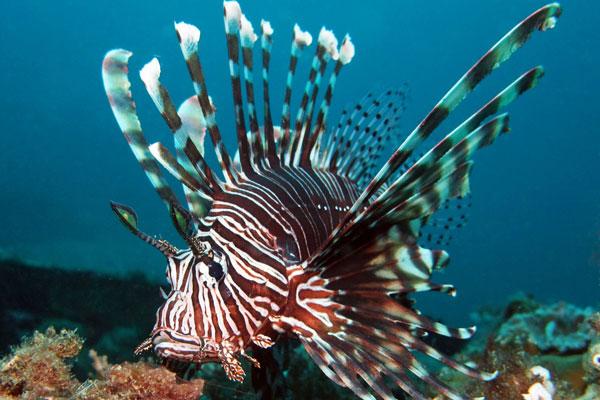 LionFish-Monkey Wreck