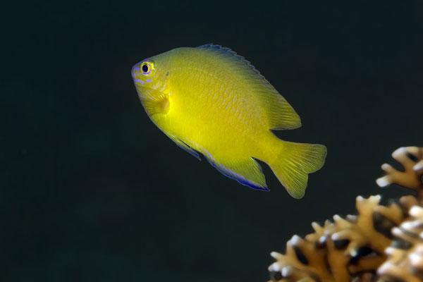 Yellow-Damsel-Fish-Sabang-Wrecks