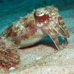 Broadclub-Cuttlefish2-Sabang-Wrecks