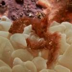 Orangutang-Crab-Sabang-Wrecks2