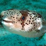 Orbicular-Globefish-Sabang-Wrecks