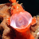 Painted-Frogfish-Sabang-Wrecks