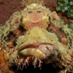 Scorpionfish-SabangWrecks