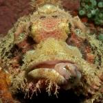 Scorpionfish-SabangWrecks