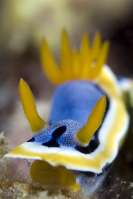 Chromodoris-lochi-Siandigan-Wall
