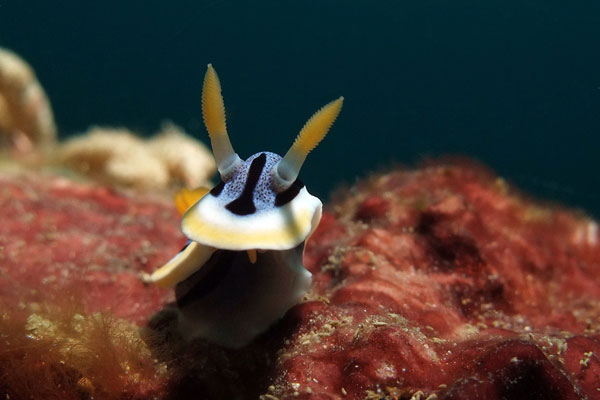 Chromodoris-lochi-Wreck-Point