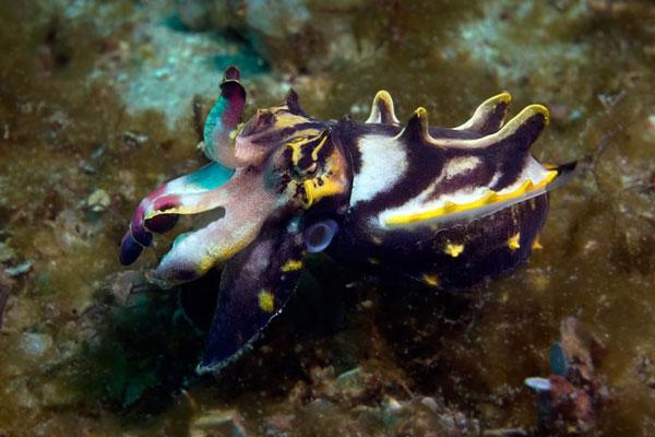 Flamboyant-Cuttlefish-Giant-Clams