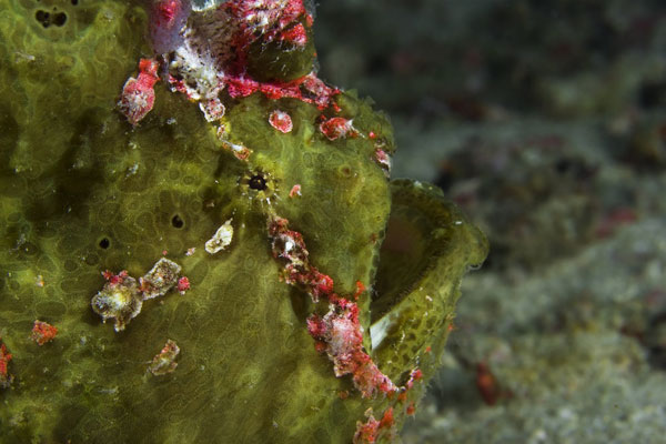 Giant-Frogfish-Profile