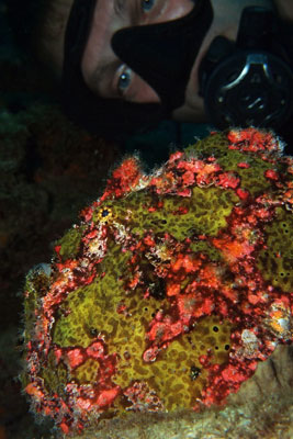 Giant-Frogfish-Sabang-Wrecks
