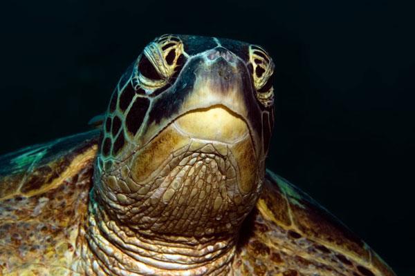 Hawkbill-Turtle-Monkey-Beach