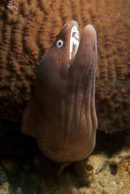 Moray Eel-Monkey-Beach