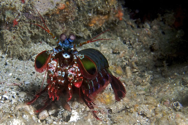 Peacock-Mantis-Shrimp-Dry-Dock