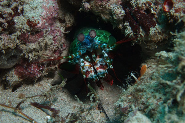 Peacock-Mantis-Shrimp-Giant-Clams