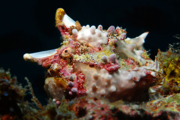 Warty-Frogfish-Sabang-Wrecks