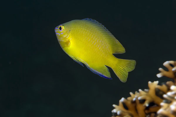 Yellow-Damsel-Fish-Sabang-Wrecks